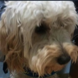Reunited dog 23 Apr 2019 in dundrum. UPDATE REUNITED...found, now in dundrum garda station