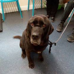 Reunited dog 23 Aug 2017 in hill of Tara. UPDATE REUNITED....found....Dogs in Distress Older Lab, wearing a red Collar ..found on The hill of Tara...in Dunshaughlin Vets...please post here if you have any info..thanks