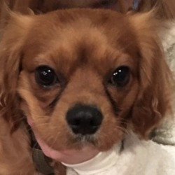 Reunited dog 23 Dec 2019 in Corkagh Park . update reunited.....found...Clondalkin Animal Aid 3 hrs ·  FOUND - PLEASE SHARE  This male King Charles was found in Corkagh Park earlier. He is currently with finder. We're not sure if he has been checked for microchip yet but will update post when we know.