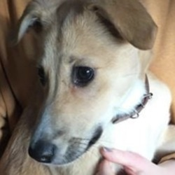 Found dog on 23 Dec 2019 in kimmage. found..Harold's Cross FestivalLike Page 11 hrs ·  Lurcher pup found  A neighbour on lower Kimmage road found a gorgeous golden lurcher pup approx 4 months old running in and out of traffic in Harold's cross during the week, unfortunately he can only keep him over Christmas as he already has a dog, so if he's not reclaimed he will go to rescue in the new year. he's absolutely gorgeous !