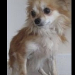 Found dog on 23 Jul 2018 in ashford. found... is a male chihuahua found in Ashford. Please contact Wicklow Dog Pound at 0404-44873 for further information.