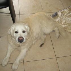 Found dog on 23 Mar 2010 in newbridge main street kildare. beautiful golden retreiver found in newbridge, kildare. please contact 0863562656 / 045434848 for details