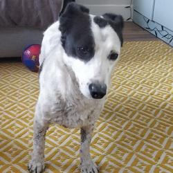 Found dog on 23 Mar 2020 in Oxmantown Road. Small male Terrier found around Stoneybatter/cabra D7.