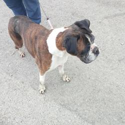 Found dog on 24 Apr 2018 in blanchardstown. found , now in the dublin dog pound... Female boxer found in Harts town park, Clonsilla on 23 April..She is around 6 years old and has a lovely temperament...she is very good on the lead... in the care of Ashton pound please contact them directly if this is your dog pf. Barry please share