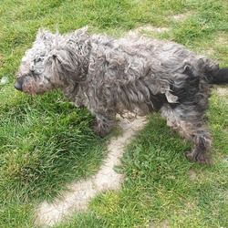 Found dog on 24 Apr 2019 in Rush south beach. Dog wandering around the car park at rush south beach during the week. Fur very matted and dirty and poor thing was limping. No collar and couldn't get close enough to see if Male or female.