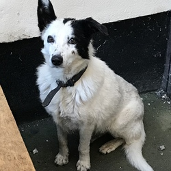 Found dog on 24 Aug 2018 in Sandyford . Collie x found, has a collar but very timid so can't get near it, been lost for a while as it is very skinny. Found in Sandyford Hall