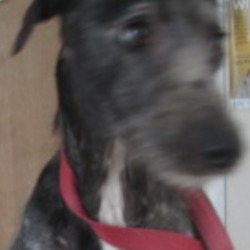 Found dog on 24 Aug 2020 in wicklow. found...Wicklow Dog Pound · 1 hr ·    Beth (pound name) is a female lurcher found at the Beehive, Co. Wicklow. For more information please contact Wicklow Dog Pound on 0404 44873. Thank you