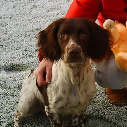 Found dog on 24 Dec 2009 in Curragh, Kildare. Tan and white male springer spaniel, seems young maybe under 1 year. Very friendly and obedient. No collar. Was found wandering around the Curragh Camp church on Christmas eve.