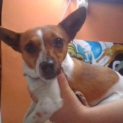 Found dog on 24 Dec 2018 in Hazel hatch road Celbridge. JACK RUSSELL BITCH