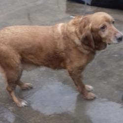Reunited dog 24 Dec 2018 in Tymon Park. UPDATE REUNITED....found, now in the dublin dog pound...Date Found: 23/12/2018 Location Found: Tymon Park