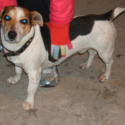 Reunited dog 24 Feb 2010 in Leixlip. Dog found in Leixlip near Gleneaston. Wed 24th Feb 2010. Jack Russell / Terrier White, Tan & Black with a black studded collar. Phone 087 741 7490