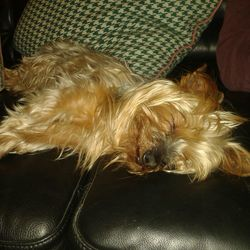 Reunited dog 26 Mar 2018 in Kilkenny. Female Yorkshire Terrier