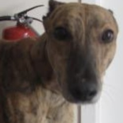 Found dog on 24 Sep 2018 in  Roundwood area. . found..is a male greyhound found in the Roundwood area. For further information please contact Wicklow Dog Pound at 0404-44873.