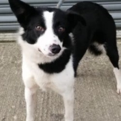 Found dog on 25 Feb 2021 in drogheda. found...Meath Dog Shelter
