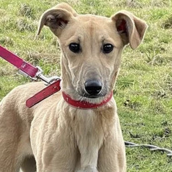 Found dog on 25 Feb 2021 in Fingal County Council ... found, now in the dublin dog pound..