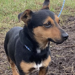 Found dog on 25 Feb 2021 in Fingal County Council. found, now in the dublin dog pound... Tyson Tyson came in as a stray and is microchipped but we cant seem to make contact with owner. He is placid on the lead but slightly nervous.  From: Fingal County Council