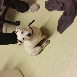 Found dog on 25 Jan 2019 in Killeeneen, Craughwell, Co. Galway. A Jack Russell terrier wandered in to Killeeneen National School, Killeeneen, Craughwell, Co. Galway this morning.  He is mainly white with a tan patch on his head.  He is an older dog who is wearing a brown collar.  No identity on him.  Friendly