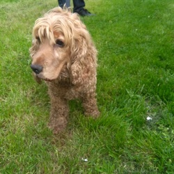 Found dog on 25 May 2019 in Found in Cruagh, dog is currently in Walkinstown. Golden Spaniel Female found 25/5/19 at approximately 6pm on Cruagh mount