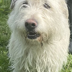 Found dog on 25 May 2021 in dublin. found..Banjo South Dublin County Council   Banjo came in as a stray on 13/5/21. He is roughly 4 yrs old. He is a very well behaved dog who loves to be heard. He is very lively and energetic little guy. He loves to be walked. Banjo is looking for his owners still but will be available to view from 19/5/21. All viewings for Banjo are booked up as of yet. REHOMED.