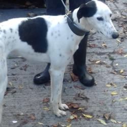 Found dog on 25 Oct 2018 in Jobstown Tallaght. found, now in the dublin dog pound...Date Found: 15/10/2018 Location Found: Jobstown Tallaght