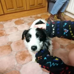 Found dog on 26 Apr 2021 in Newcastle, Galway. . White and black, male. Friendly temperament.
