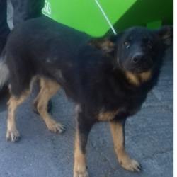 Found dog on 26 Jun 2018 in Clondalkin Village.... found, now in the dublin dog pound..Date Found: 22/06/2018 Location Found: Clondalkin Village