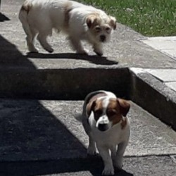 Found dog on 26 Jun 2018 in Dunshaughlin . found, contact meath pound... Please Share...does anyone recognise these dogs?? They were both straying together in Dunshaughlin . The warden managed to secure Jack Russel who is now in Shelter but the longer haired terrier is still out straying..