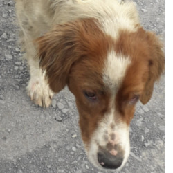 Found dog on 26 Jun 2020 in Ronanstown. found, now in the dublin dog pound...Date Found: 24/06/2020 Location Found: Ronanstown