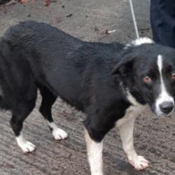 Found dog on 26 Nov 2019 in Tallaght. found, now in the dublin dog pound..Date Found: 15/11/2019 Location Found: Tallaght