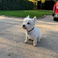 Found dog on 26 Oct 2019 in Cabinteely. Small white dog