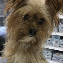 Found dog on 27 Dec 2018 in Marleys Lane/Rathmullen road area of Drogheda. found..FOUND : Stray Yorkie found in Marleys Lane/Rathmullen road area of Drogheda. 