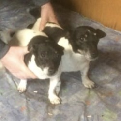 Found dog on 27 Dec 2018 in Wilkinstown. found..Collon Animal Sanctuary .**FOUND** PLEASE SHARE**