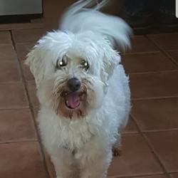 Reunited dog 27 Jul 2019 in Rathfarnham . White Maltese dog found Rathfarnham area.