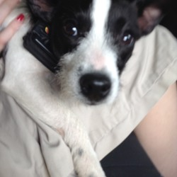 Found dog on 27 May 2018 in Johnstown Bridge Kildare. Owner found Black and white wire hair Jack Russell type found near Johnstown Bridge Sunday 27th May contact 087 6326466