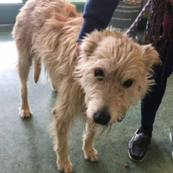 Found dog on 28 Aug 2018 in Athboy. found...*FOUND*