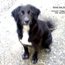 Found dog on 28 Oct 2009 in Moate Westmeath. Menium black dog with white chest. mixed breed. female. quite gentle dog