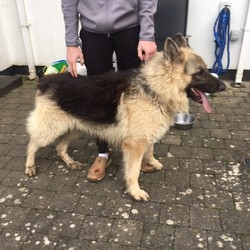 Reunited dog 29 Dec 2019 in north dublin. beautiful male nutered german shepperd found in north co. Dublin. lovely gentle dog loves to play but well behaved-absolutely beautiful if you have a bit of space.