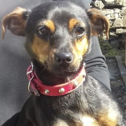 Found dog on 29 Jul 2019 in  Springfield . found, now in the dublin dog pound..STH. DUBLIN COUNCIL Listed 1 dog 29th July.  1......Belgard Road Tallaght 28thJuly.  was found in Springfield Tallaght 27th July.
