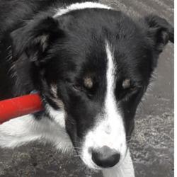 Found dog on 29 Jun 2020 in Greenfort Est. found, now in the dublin dog pound...Date Found: 26/06/2020 Location Found: Greenfort Est