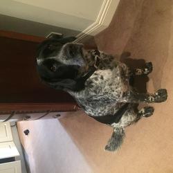 Found dog on 29 Oct 2017 in Blackrock/stillorgan . Found black & white male spaniel type dog with black leather collar in Blackrock/stillorgan area 11pm sun 29th oct - contact Isobel 0868104787