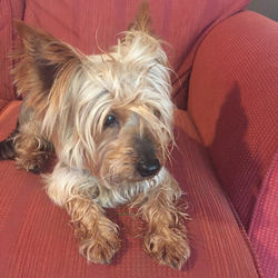Reunited dog 29 Oct 2017 in Lucan, Dublin. found in Lucan area. Small male yorkshire terrier.  Found last night 9pm.  Owners located - happy reunion!!