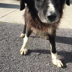 Reunited dog 29 Sep 2017 in Oberstown Tara. UPDATE REUNITED....found...elderly Collie.. possibly partially blind & deaf..ref 283...found in Oberstown Tara last night...please contact Meath pound on 087 0676766..thanks