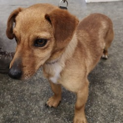 Found dog on 30 Aug 2019 in mornington. found..Westgate Veterinary HospitalLike Page 13 mins ·  FOUND  Down by fish meal factory on Crook Road in mornington Unnuetered male No microchip  If anyone recognises this little fella. Please contact us on 041 9838718