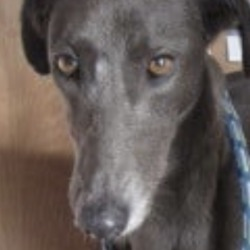 Found dog on 30 Dec 2019 in ashford. found..Wicklow Dog Pound December 21 at 12:32 PM ·  Tessa (pound name) is a greyhound cross female found in the Ashford area. Please contact Wicklow Dog Pound at 0404-44873 for further information.