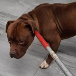 Found dog on 30 Dec 2020 in Mount Andrew. found, now in the dublin dog pound...Date Found: 29/12/2020 Location Found: Mount Andrew
