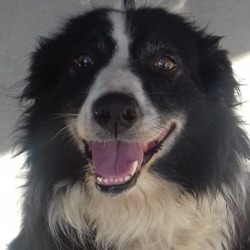 Found dog on 30 Jul 2018 in Kildalkey . found, now in meath pound...male Collie aprox 5yrs old
