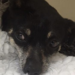 Found dog on 30 Mar 2019 in coolock. found..Village Vets Coolock Like This Page · March 28 ·    This little dog was dropped into us after being involved in a road traffic accident.   If you know the owner please get them to contact us on 015441910.