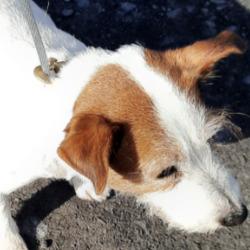 Found dog on 30 Mar 2021 in Ronanstown. found, now in the dublin dog pound.. Date Found: 27/03/2021 Location Found: Ronanstown