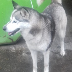 Found dog on 30 May 2019 in Belgard Road. found, now in the dublin dog pound...Date Found: 28/05/2019 Location Found: Belgard Road
