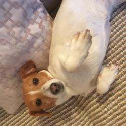 Found dog on 30 Nov 2017 in Beaumont Dublin 9. Young female Jack Russell  Very gentle